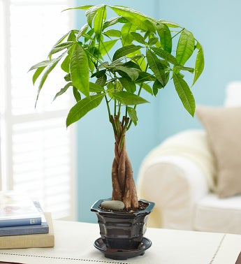 Indoor trees small tropical and flowering for 1800 flowers bonsai