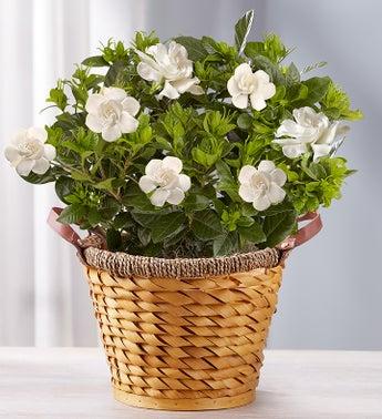 Cherished Gardenia - Large - 1-800-Flowers
