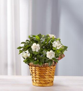 1-800-Flowers.com Cherished Gardenia - 1-800-Flowers