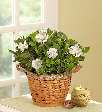 Cherished Gardenia - Medium with Candle - 1-800-Flowers