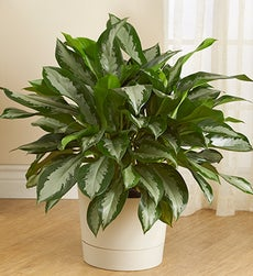 Aglaonema Floor Plant - Aglaonema Floor Plant-Cream Planter