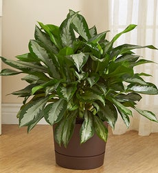 Aglaonema Floor Plant for Sympathy - Aglaonema for Sympathy-Brown planter