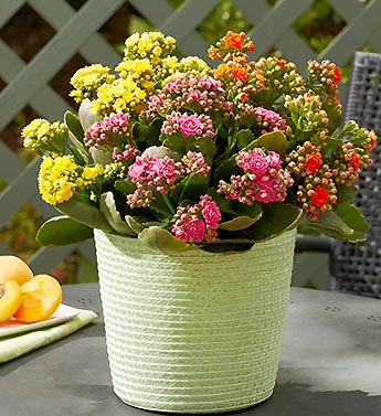 Bright Summer Kalanchoe