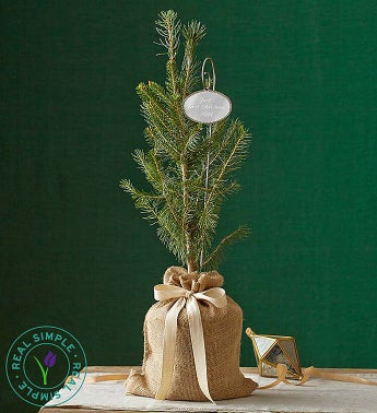 Real Simple Colorado Spruce - Large with Plaque - 1-800-F...