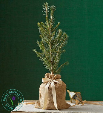 Cherished Colorado Blue Spruce Tree