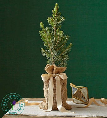 Real Simple Colorado Spruce - Small - 1-800-Flowers
