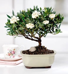 Birthday: Gardenia Bonsai- May's Bonsai