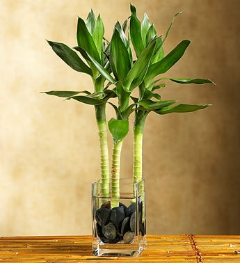1-800-Flowers.com Plants - Love & Romance Lotus Bamboo - ...