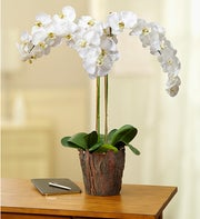 Potted White Silk Phalaenopsis Orchid