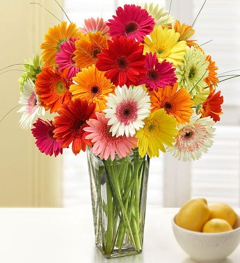 Happy Gerbera Daisies, 12-24 Stems - 24 Stems with Clear Vase