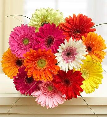 Happy Gerbera Daisies, 12-24 Stems - 12 Stems Bouquet Onl...