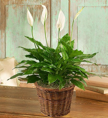 Spathiphyllum Plant - Small - 1-800-Flowers