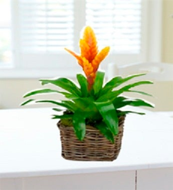 Bromeliads Plant